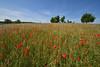 Les taches rouges des coquelicots dans le paysage (Excalibur67) Tags: nikon d750 sigma 1224f4556iidghsm paysage landscape nature poppies pavots prairie campagne arbres trees ciel sky coquelicots