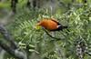 ʻIʻiwi (Brad Rangell) Tags: scarlethoneycreeper endemichawaiianbird bird hosmergrovecampground haleakalānationalpark maui hawaii ʻiʻiwi