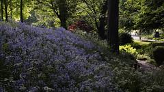 Bluebells In Lister Park (Mel_is_Moving) Tags: epl6 olympus pen trees outside flowers purple outdoor blue bluebells bradford westyorkshire uk