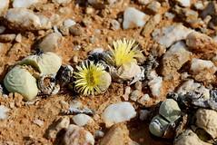 Argyroderma delaetii, living stone