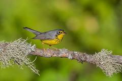 Canada Warbler (Joe Branco) Tags: summer spring photoshopcc2018 joebrancophotography ontario canada nikond850 nikon wildlifephotography canadawarbler green