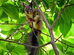 (lucamarasca1) Tags: bosco südtirol altoadige wild wildlife d5500 nikon sigma nature scoiattolo squirrel