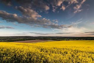 Rapeseed Field - Kent