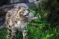 Walk of the Snow Leopard (Bartfett) Tags: snow leopard san diego zoo california cat feline big tail walk eyes green grey spotted spots beautiful winter alpine high cute