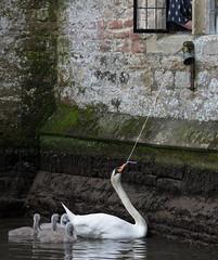 Swan ringing bell (Mukumbura) Tags: swan cygnets bell gatehouse wells somerset