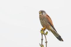 Kestrel (drbut) Tags: kestrel falcotinnunculus trees hedges fields bird prey birds birdofprey wildlife nature avian canonef500f4lisusm
