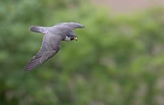 Peregrine falcon. (cliveyjones) Tags: peregrinefalcon peregrine