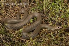 Grey Whipsnake (Demansia simplex) (Brendan Schembri) Tags: snake reptile kimberley australia brendanschembri grey whipsnake whip demansia simplex elapid