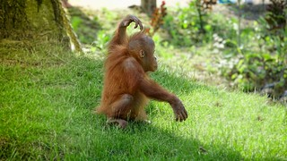 Lovely Orang Outan - Comic Scene