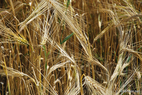 Пшениця, жито, овес InterNetri  Ukraine 022