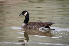Canada Goose - Wyoming (petechar) Tags: charlesrpeterson petechar wildlife animal birds aves anseriformes anatidae brantacanadensis flatcreek nationalelkrefuge wyoming jackson panasonicgh5 leica100400 monopod
