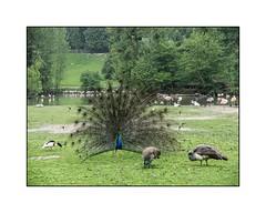 Il fait son beau (SiouXie's) Tags: couleur color fujix20 fuji fujifilm siouxies clères paon nature parc oiseaux birds