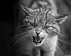 Felis silvestris (Tete07) Tags: gatomontés felissilvestris gatsalvatge gatmontanyes mamífero mamífer animal animalkingdom reinoanimal felinos bn bw monochrome monocromo
