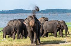 Greetings (www.jamesbrew.com) (James Brew (www.jamesbrew.com)) Tags: srilanka asia elephant asianelephants wildlife safari travel travelphotography travelling nature explore
