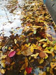 11-05-17 Dayton 56 leaves, fall color (Chicagoan in Ohio) Tags: dayton clouds sun sunhalo leaves fallcolor