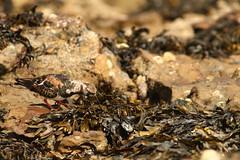 Hide And Seek Lunch (Derbyshire Harrier) Tags: turnstone 2018 rock seaweed yorkshire scarborough arenariainterpres northbay rockpool bladderwrack may spring