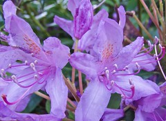 0695 Rhododendron in flower (Andy - Busy Bob) Tags: bbb bloom fff flower petal ppp purple rhododendron sss stamen