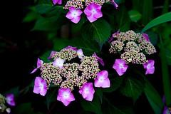 Tellerhortensie (clemensgilles) Tags: pink frühling spring fleurs flowers hortensien blumen garten garden germany beautiful