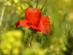 Buon 2 Giugno ! (fotomie2009) Tags: poppy papavero fiore red flower wild nature wildflower flora prati spring meadow prato