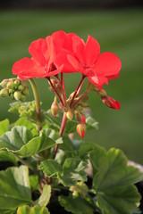 Geranium (23/52) (Stu.G) Tags: project52 project 52 project522018 522018 9jun18 9thjune2018 9th june 2018 june2018 9thjune 9618 090618 962018 09062018 canoneos40d canon eos 40d canonefs1785mmf456isusm efs 1785mm f456 is usm england uk unitedkingdom united kingdom britain greatbritain d europe eosdeurope geranium redflower flower