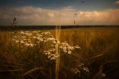 Am Wegesrand (radonracer) Tags: niederrhein getreide radonart rural countryside cornfield