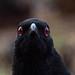 White-winged Chough - Corcorax melanorhamphos - 1 of 2 - Barton - ACT - Australia - 20180603 @ 16:42