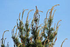 WHIPS! (Jan Nagalski (off for awhile)) Tags: trees pine pinetrees jackpinetrees whips whip blue green kirtlandswarbler crawfordcounty michigan nature jannagalski jannagal