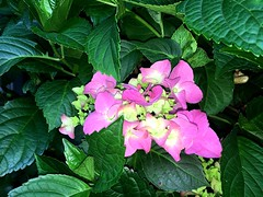 One more of my #Hydrangea starts blooming (RenateEurope) Tags: renateeurope iphoneography 2018 primavera hortensien pink flowers flora hydrangea awesomeblossoms
