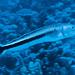 Blue Blanquillo - Malacanthus latovittatus