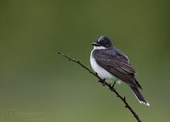 Eastern Kingbird (T L Sepkovic) Tags: easternkingbird kingbird flycatcher avianphotography wildlifephotography canon 5dmkiv teamcanon lenscoat promediagear