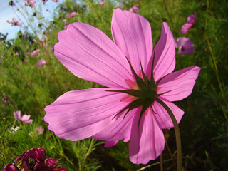 Vue arriere-COSMOS rose fonce en transparence...