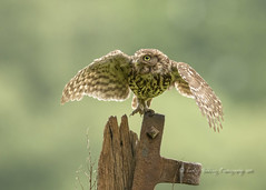 Little Owl (pixellesley) Tags: littleowl athenenoctua bird owl birdwatching animal wild free flying hunting raptor landing wings morning early mist cloud lesleygooding