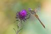 Piccola Fatina (Raffaella Coreggioli ( fioregiallo)) Tags: fioregiallo nikon tamron macro libellule insetto luce campomagico rugiada gocce