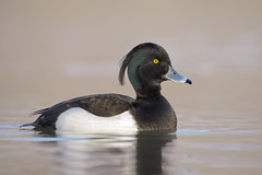 Moretta (Ricky_71) Tags: tufted duck moretta lake wild winter nikon