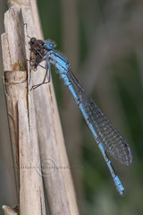 _IMG7324  Common Blue Damselfly and Black Snipefly (Pete.L .Hawkins Photography) Tags: petehawkins petelhawkinsphotography petelhawkins petehawkinsphotography pentax 100mm macro pentaxpictures pentaxk1 fantasticnature fabulousnature incrediblenature naturephoto wildlifephoto wildlifephotographer naturesfinest unusualcreature naturewatcher insect invertebrate bug 6legs compound eyes creepy crawly uglybug bugeyes fly wings eye veins flyingbug flying beetle shell elytra