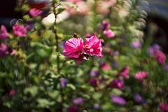 The Swirl (Jens III) Tags: makro macro macrodreams morgen sony sunny sun sonyalpha6000 sommer flickr flower blume blossom beautiful darktable bokeh swirly
