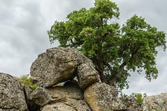 ROCAS Y ALCORNOQUE (bacasr) Tags: walking mount paseando spain extremadura plasencia alcornoque cáceres corkoak naturaleza monte rocas nature españa rocks