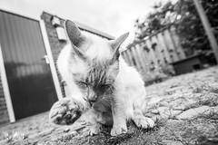 After falling in the pond 🙈 (Mack, lilacpoint siamese) (Renate van den Boom) Tags: 06juni 2018 europa gelderland jaar katten maand mack nederland nijmegen renatevandenboom thuis tuin