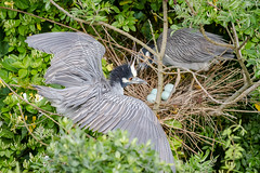Proud Expectant Parents (tresed47) Tags: 2018 201806jun 20180606newjerseybirds birds canon7d content folder heron june newjersey oceancity peterscamera petersphotos places season spring takenby us yellowcrownednightheron