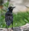 Common Grackle (Summerside90) Tags: birds birdwatcher commongrackle june spring backyard garden nature wildlife ontario canada