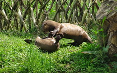"""Giant otters playing (LadyRaptor) Tags: yorkshirewildlifepark yorkshire wildlife park doncaster ywp nature outdoors spring summer time summertime sun sunny shining shine bright sunshine grass tree stump play playing playful fight fighting wrestling rolling cute animal animals caniformia mustelidae mustelid weasel pteronura brasiliensis """"south america"""" female females sisters friends friendly giant river otter otters mora alexandra"""