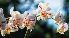 Macro Monday (dorameulman) Tags: dorameulman macromonday orchid macro inmybackyard summer love haiku sigma105mmf28exdgmacroos canon7dmark11 canon beautiful flower