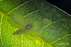 Jumping spider (Salticidae) - DSC_2541 (nickybay) Tags: mozambique gorongosa bugshot macro sofala chitengocamp jumping spider salticidae eggs backlighting