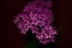 DSC_1014 (benji86cz) Tags: helios44m helios oldlens manualfocus bokeh violet flower