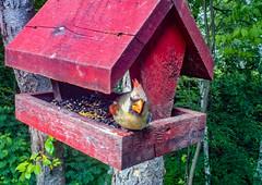 female_Northern_Cardinal-1_MaxHDR_Dehaze_Crop (old_hippy1948) Tags: feeder cardinal bird