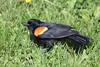 Red-winged Blackbird (Agelaius phoeniceus) (Gerald (Wayne) Prout) Tags: redwingedblackbird agelaiusphoeniceus animalia chordata aves passeriformes icteridae agelaius phoeniceus gillieslakeconservationarea cityoftimmins northeasternontario canada prout geraldwayneprout canon canoneos60d eos 60d digital camera photographed photography birds redwinged blackbird perchingbirds songbirds animals wildlife nature aggressive behaviour marsh lake water grass trail promenade gillieslake conservation area city timmins northeastern northernontario northern ef70300mm f456 is usm canonlensef70300mmf456isusm