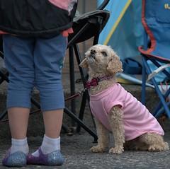 Food Please (Scott 97006) Tags: dog canine animal begging alert eyes bowtie cute shirt beg