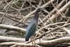 IMG_5275 green heron (starc283) Tags: starc283 heron green bird birding nature wildlife natures finest outdoor animal flicker flickr