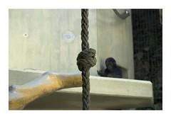 _JP20419 (Jordane Prestrot) Tags: ♋ jordaneprestrot desseincaptif captivedesign zoo bâle basel gorille gorilla gorila