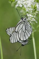 Aporia crataegi 2018-10 (lindnys) Tags: råbjergmose aporiacrataegi crataegi sortårethvidvinge sommerfugl butterfly ålbæk northdenmarkregion denmark dk